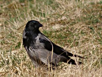 [Bild: Kråka (Corvus corone)]