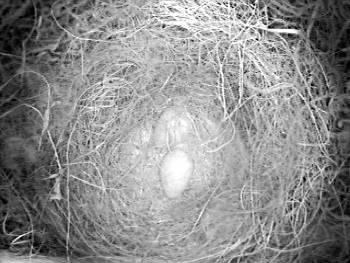 [Bild: 2st ägg (Talgoxe) i den östra holken]