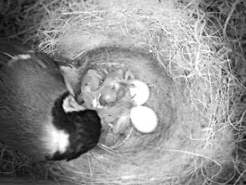 [Bild: Östra holken; Talgoxe, 4st ungar och 3st ägg]