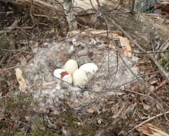 [Bild: Kanadagåsens ägg]