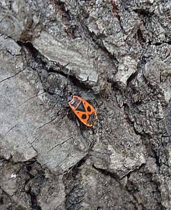 [Bild: Eldus (Pyrrhocoris apterus)]