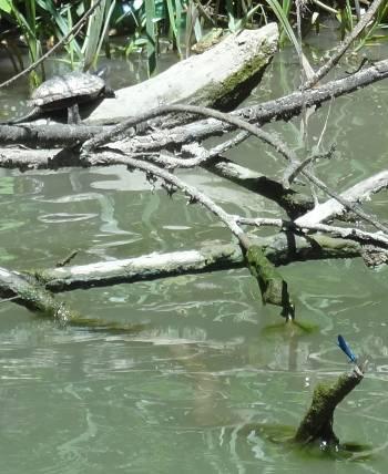 [Bild: Kamchiya, Bulgarien. Rödörad vattensköldpadda (Trachemys scripta elegans), Groda och en Blå jungfruslända (Agrion virgo)]