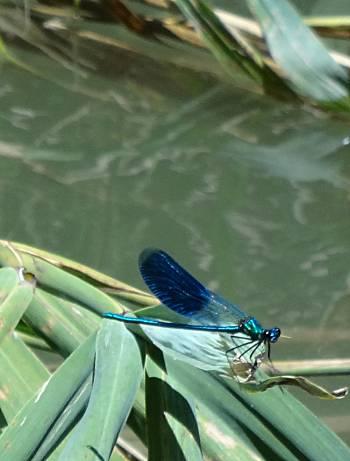 [Bild: Blå jungfruslända (Agrion virgo). Kamchiya, Bulgarien]