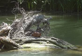 [Bild: Gräsand (Anas platyrhynchos), hane. Kamchiya, Bulgarien]