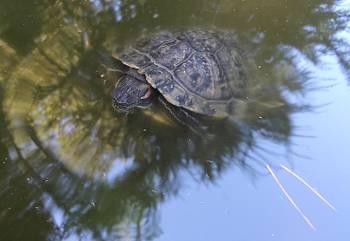 [Bild: Rödörad vattensköldpadda (Trachemys scripta elegans). Varna Bulgarien]