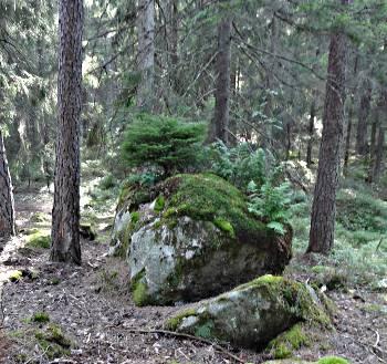 [Bild: Gran på en sten]