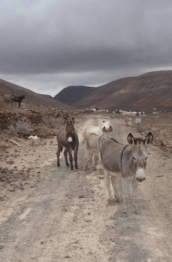 [Bild: Åsnor, Vallebron, Fuerteventura]