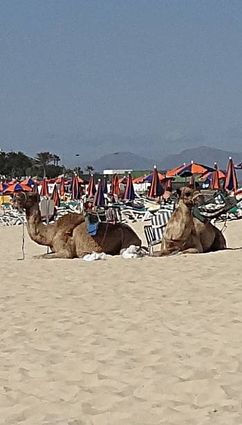 [Bild: Dromedarer, Corralejo,Fuerteventura]