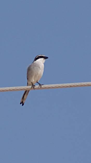 [Bild: Fågel, Corralejo,Fuerteventura]
