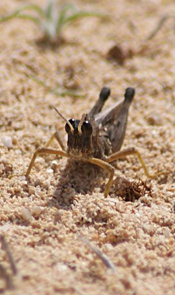 [Bild: Gräshoppa, Corralejo,Fuerteventura]