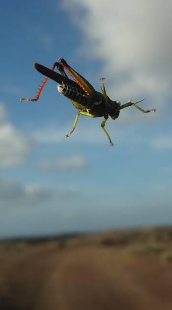 [Bild: Gräshoppa, Lanzarote]