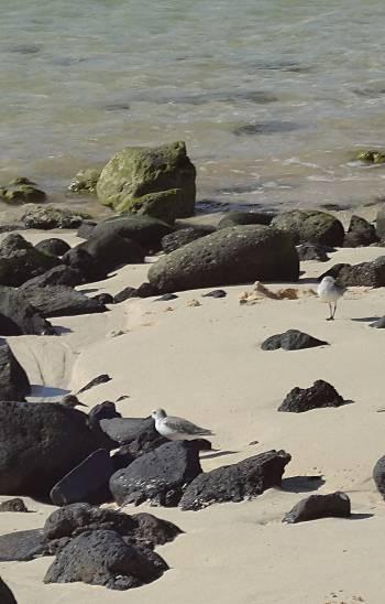 [Bild: Strandfåglar, Lagos de el Cotillo, Fuerteventura]