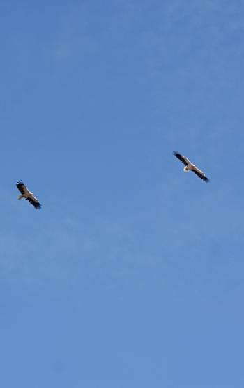 [Bild: Rovfågelpar, Barracon, El Puertito de los Molinos, Fuerteventura]