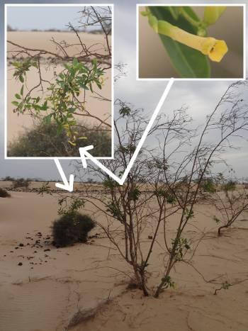 [Bild.: Corralejo Sandöken Gul träd-nektar-blomma, Fuerteventura]