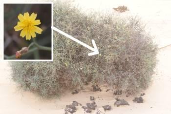 [Bild.: Corralejo Sandöken Gul busk-blomma, Fuerteventura]