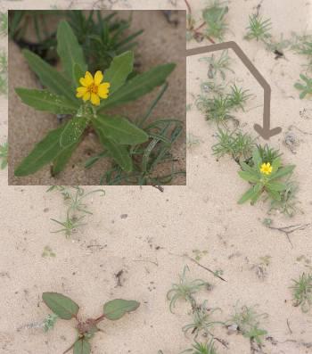 [Bild.: Corralejo Sandöken Gul blomma, Fuerteventura]