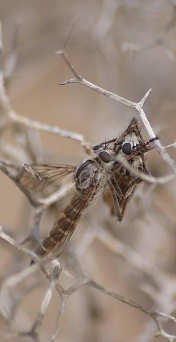 [Bild.: Rovfluga som fångat annan rovfluga,Corralejo Sandöken, Fuerteventura]