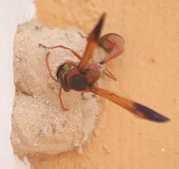 [Bild.: Stekelhona jobbar med att knôka in en grön larv i en kammare, Corralejo, Fuerteventura]