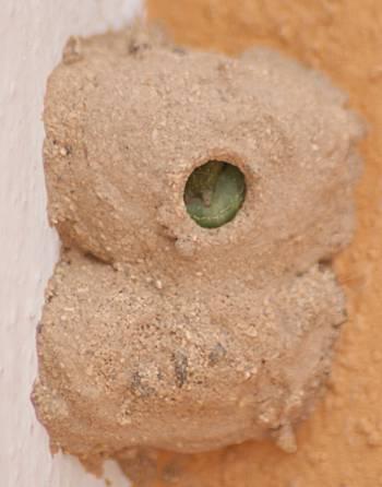 [Bild.: Stekelhona har stoppat en kammare full med gröna larver, Corralejo, Fuerteventura]