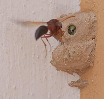 Stekelhona kommer, med material för att försluta kammaren, Corralejo, Fuerteventura]