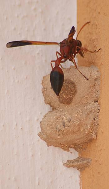 [Bild.: Stekelhonan gör en inspektion av kammaren och planerar för nästa, Corralejo, Fuerteventura]