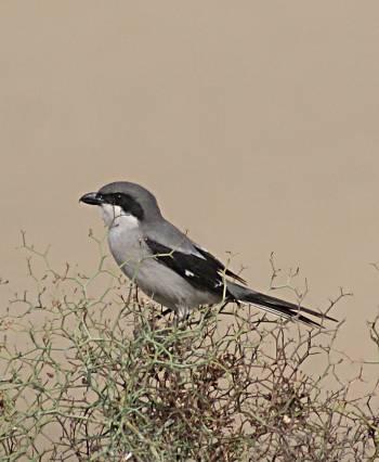 [Bild: Sydlig varfågel eller Öekenfågel (Lanius meridionalis)]