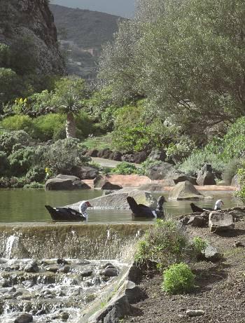 [Bild: Myskand (tamvarianten) (Cairina moschata). Jardin Botanico Canario. Barracon de Guiniguada. Gran Canaria.]