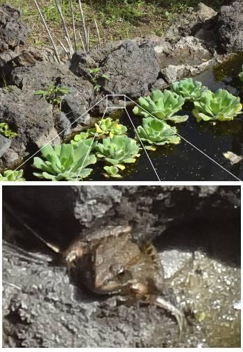 [Bild: Western Marsh Frog (Heleioporus barycragus). Jardin Botanico Canario. Barracon de Guiniguada. Gran Canaria.]