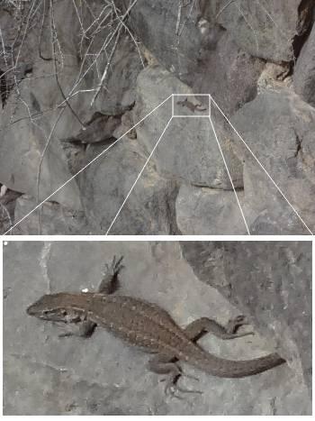 [Bild: Gran Canaria Giant Lizard (Gallotia stehlini). Jardin Botanico Canario. Barracon de Guiniguada. Gran Canaria.]