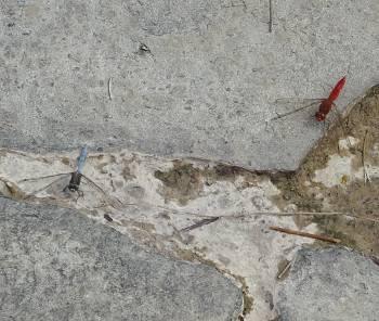 [Bild: Trollsländor: Crocothemis erythraea och Orthetrum brunneum. Jardin Botanico Canario. Barracon de Guiniguada. Gran Canaria.]