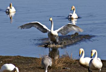 [Bild: Hornborgasjön, Inflygande Svan - vattenkontakt.]