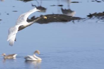 [Bild: Hornborgasjön, Inflygande Svan - nära landning.]