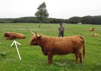 [Bild: Öströö Fårfarm. Kristian Carlsson en ko och tjuren Olle]