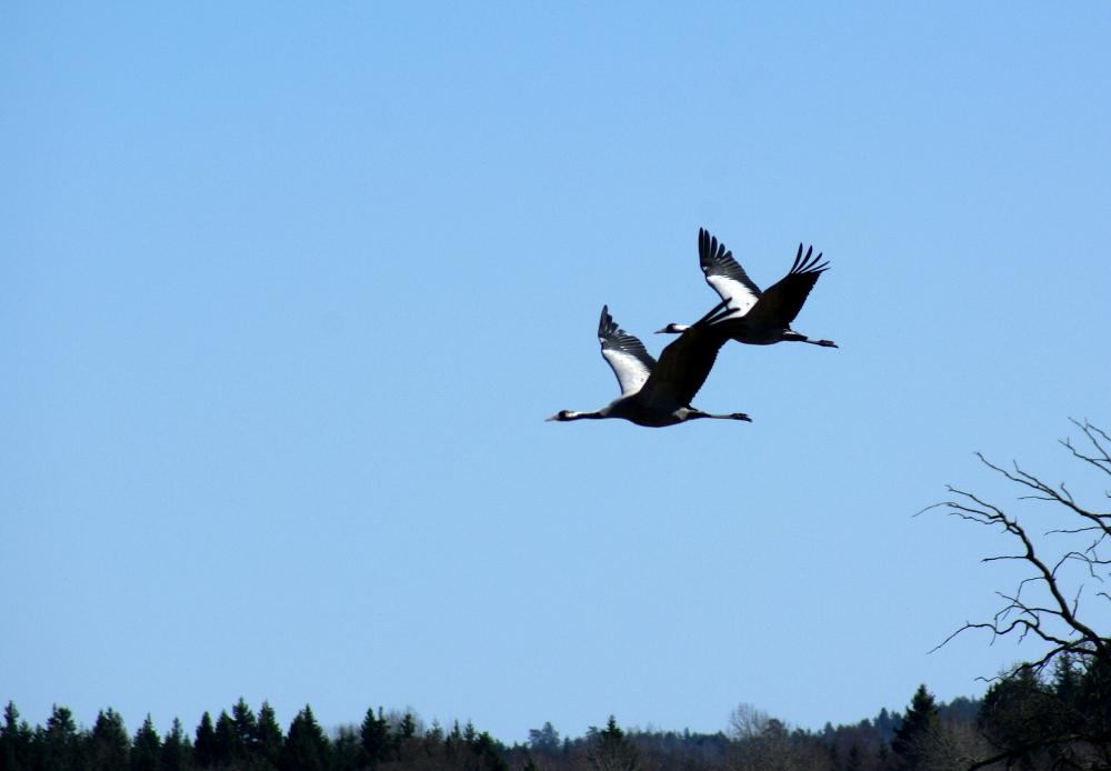 [Bild: Flygande         Tranpar vid Hornborjasjön]