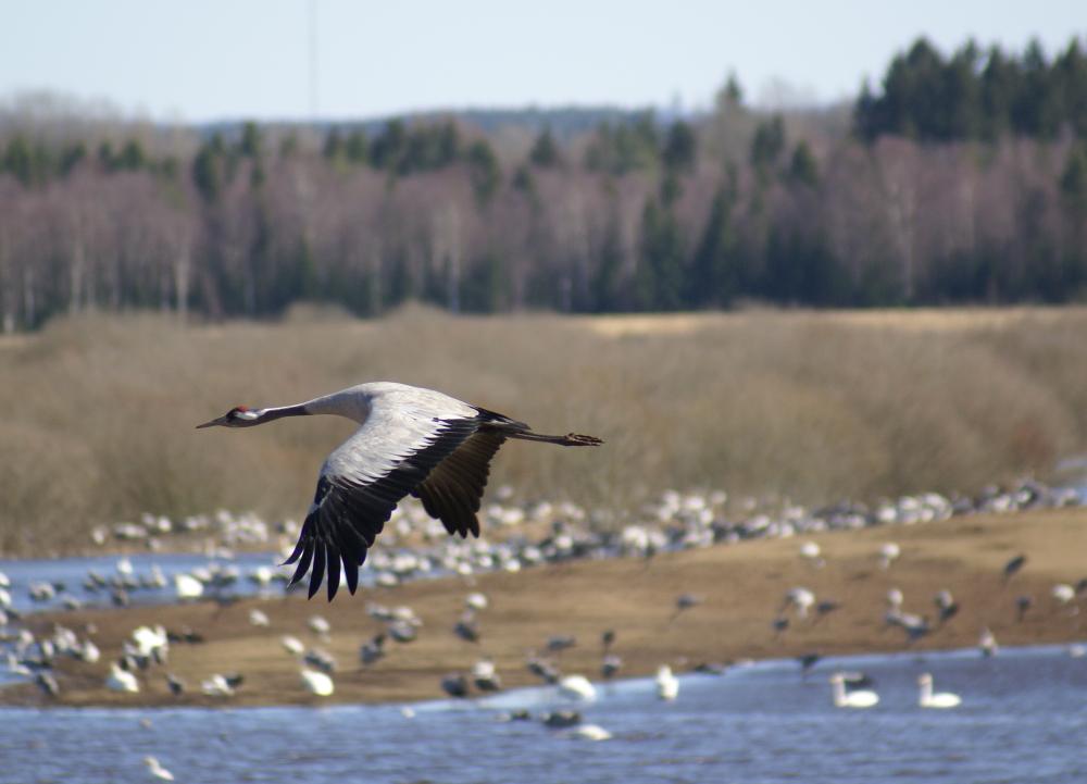 [Bild: Flygande         Trana vid Hornborjasjön]