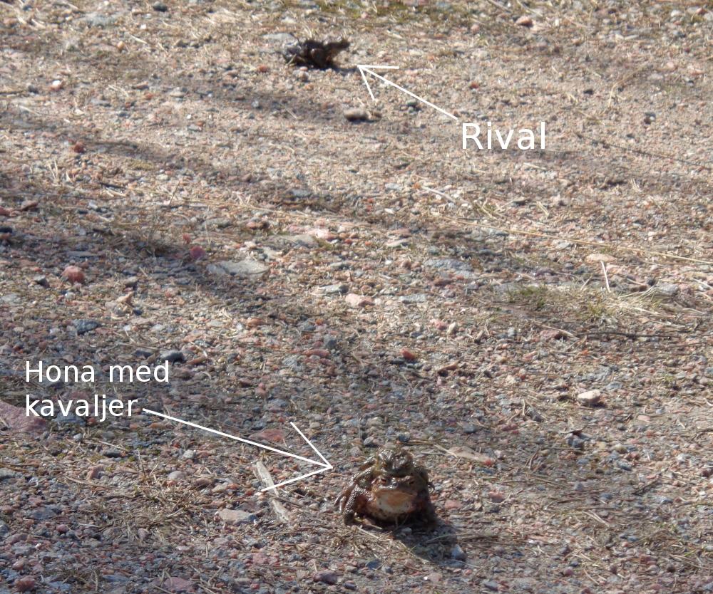 [Bild:         Padda med kavaljer och rival i bakgrunden]