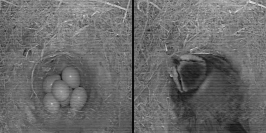 Ägg och Fågel (Talgoxe)