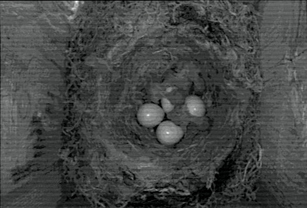 [Bild: 4st ungar 0ch 4st okläckta ägg]