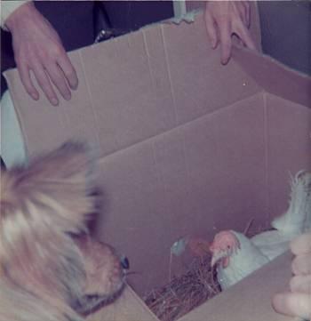 [Bild: Hunden Molly och julklapp som innehåller en höna 24/12 1975]